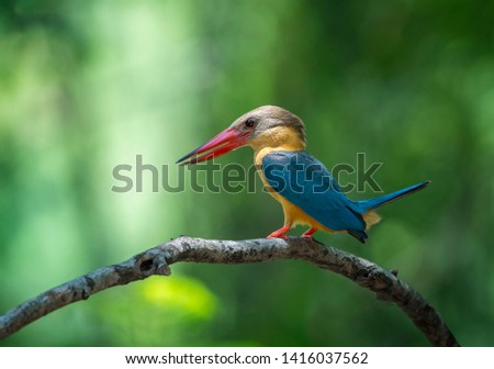 Stork-billed kingfisher Habitat and habitat along canals, rivers, fresh water sources, both in the forest and in the open, are birds that catch fish very well #1416037562