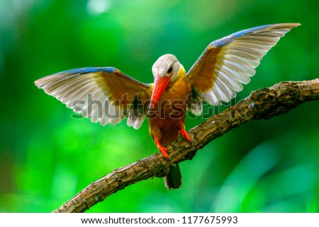 Stork-billed Kingfisher is fifteen subspecies,of which two occur in region.Along rivers and large waterbodies in or near wooded habitale.