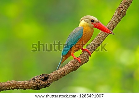 Stork-billed Kingfisher on branch in nature