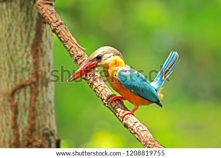 Stork-billed Kingfisher on branch, Thailand