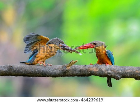 Stork-billed Kingfisher or Pelargopsis capensis, beautiful blue bird feeding a hungry baby with green background in Thailand.