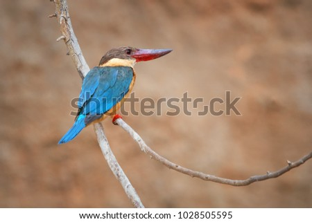 Stork-billed kingfisher, Pelargopsis capensis, a bird, very large tree kingfisher, native to India and Indonesia with very large, bright red bill and legs, blue wings in its native environment. India.