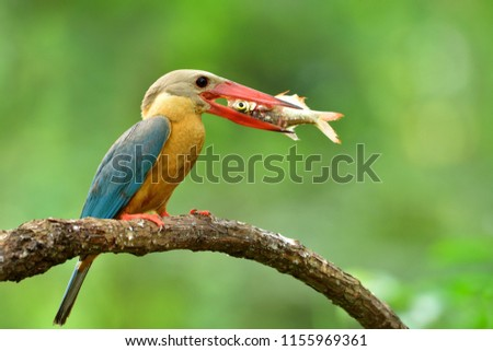 stork-billed kingfisher (Pelargopsis capensis) beautiful big red beak with turquoise blue wings and brown head bird eating fresh fish while perching on wood branch in nature