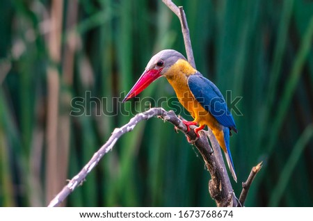 Stork-billed Kingfisher Pelargopsis capensis Beautiful Birds of Thailand perching on the tree