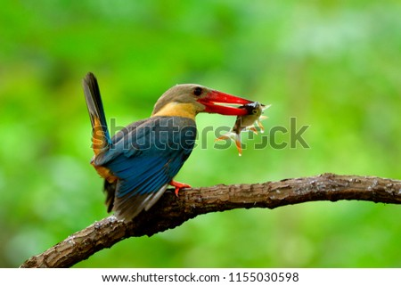Stork-billed kingfisher (Pelargopsis capensis) beautiful turquoise blue wings and brown head with red beak bird carrying live fish for her baby in nest