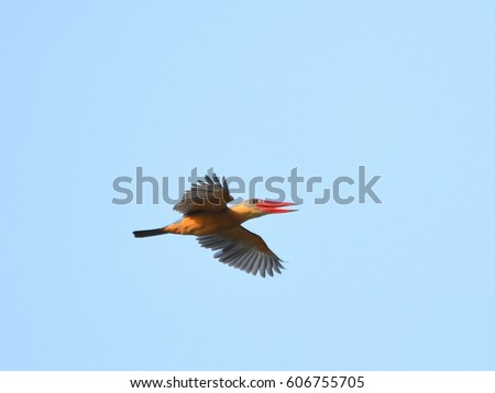 Stork-billed Kingfisher, Pelargopsis capensis, big bird flying over fish pond in rural area nearby my house, Thailand. Wild animal in natural habitat look happy and healthy. Clear blue sky background.