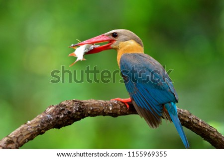 Stork-billed kingfisher (Pelargopsis capensis) fascinated turquoise blue wings with red beak bird carrying live fish for her baby in nest, exotic animal