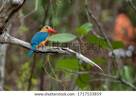 Stork-billed Kingfisher (Pelargopsis capensis) is the largest kingfisher in Borneo.