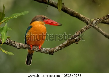 Stork-billed Kingfisher (Pelargopsis capensis) on the branch,  is a tree kingfisher distributed in the tropical Indian subcontinent and Southeast Asia, from India to Indonesia - Singapore, Malaysia
