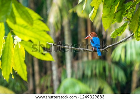 Stork-billed Kingfisher (Pelargopsis capensis) perched on a branch on a background of palm forest.