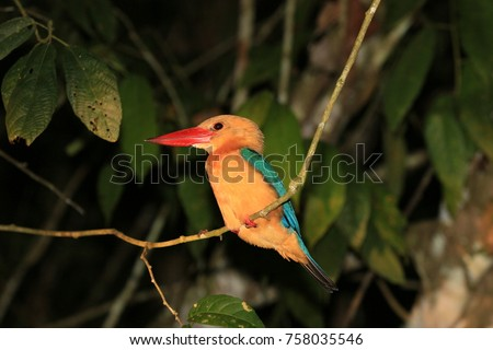 Stork-billed Kingfisher (Pelargopsis capensis) sitting on a branch along Kinabatangan river, Sabah, Malaysia
