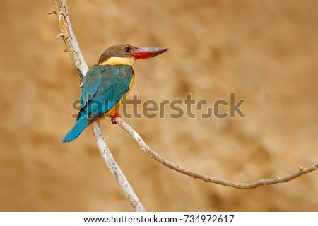 Stork-billed Kingfisher, Pelargopsis capensis, sitting on the tree trunk in river. Wildlife scene from nature, Ranthambore, India, Asia. Blue bird with orange legs.