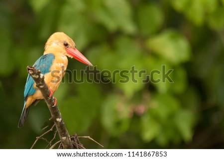 Stork-billed Kingfisher  (Pelargopsis capensis) - Waiting to Fish