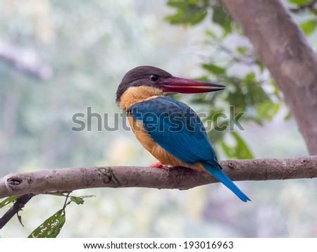 Stork-billed Kingfisher, Pelargopsis capensis, wild