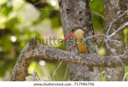 Stork billed kingfisher sitting on a branch inside bandhavgarh national park during indian safari