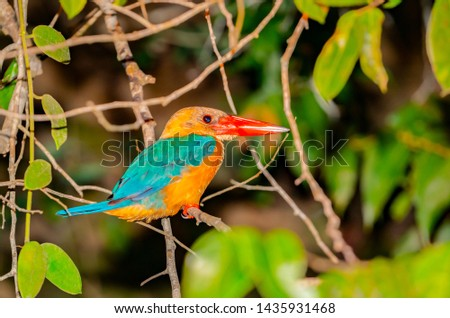 Stork-billed kingfisher with bright orange bill or beak on branch on side of Kinabatangan River, Sabah Borneo.