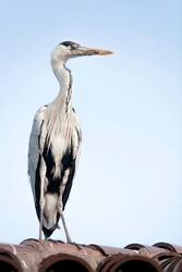 stork bird resting in the city