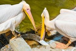 Stork drinks water
