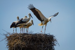 Stork family in large nest home, young one learning to fly, by practising ang jumping in front of five others on the background of blue sky in a sunny summer day