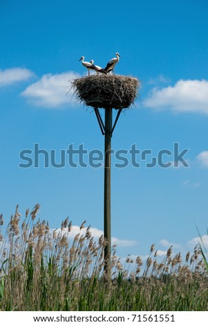 Stork family in nest in summer