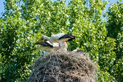 Stork family with two adult storks and two baby storks with a green tree in the background