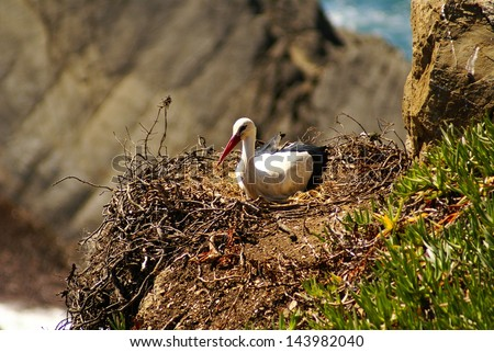 Stork nest at the edge of the cliff, Cabo Sardao, Alentejo, Portugal