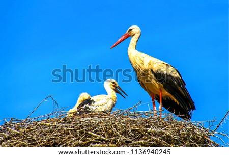 Stork nest on blue sky background. Stork with baby in stork nest - Shutterstock ID 1136940245