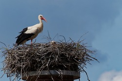 Stork on the nest. The white stork (Ciconia ciconia) is a large bird in the stork family, Ciconiidae. Its plumage is mainly white, with black on the bird's wings.