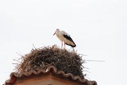 stork resting in the nest