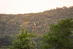 Stork waiting on a tree branch to rest.