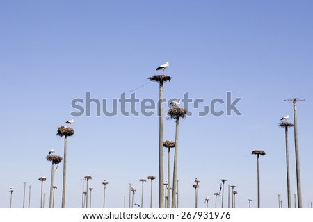 Storks colony in a protected area of Malpartida de Caceres, Spain