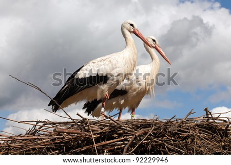 Storks couple standing on their nest high up in the sky - stock photo