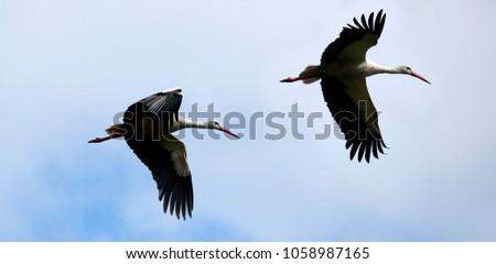 storks flying in a blue sky #1058987165