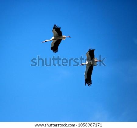 storks flying in a blue sky #1058987171