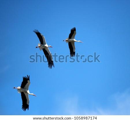 storks flying in a blue sky #1058987174