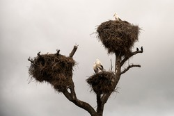 Storks in their nests on top of a tree during a cloudy day in autumn.