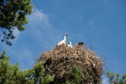Storks resting in a nest