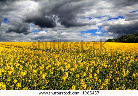 Storm Clouds roll over the Hill and Canola Field