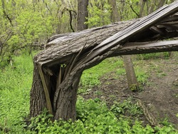Storm damage: Broken tree in woods, springtime in northern Illinois