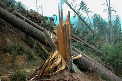 storm damage in to trees in the forest after a heavy thunderstorm