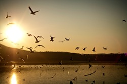 storm of seagulls fly on the lake surface during the sunet. golden colors