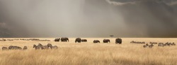 Stormy skies over the red oat grass of the Masai Mara. A panorama with herds of elephants and zebra during the annual Great Migration.