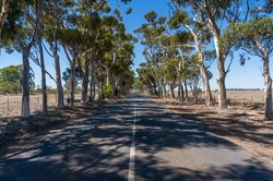 Straight asphalt road with beautiful eucalyptus trees. Countryside infrastructure