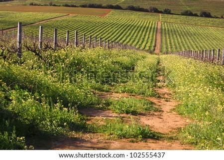 Straight farm road with red soil runs through overgrown green vineyard in winter sunlight.