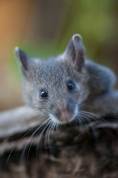 Straight into the eyes of a deer mouse.