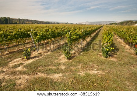 Straight rows of vineyards on the farm