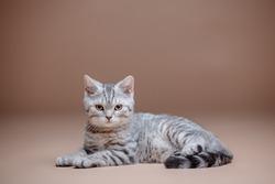 Straight Scottish cat in the studio