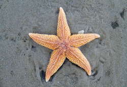 Stranded dead Common Starfish, laying on a sandy beach
