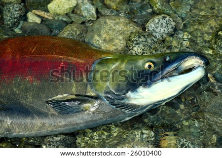 Stranded male Sockeye salmon in the upper Pitt River
