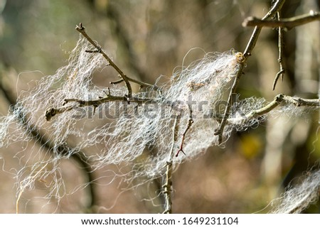 Strands of sheep wool (fleece) caught on sharp thorny brambles. Wisps of single strand white fluff. Very shallow depth of field with only some of the fibres in clear focus. Bokeh in the background.